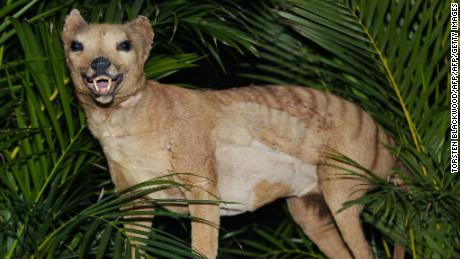 People report sightings of the Tasmanian tiger, believed to be extinct