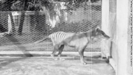 The thylacines had yellowish brown fur, powerful jaws and a case for their young.