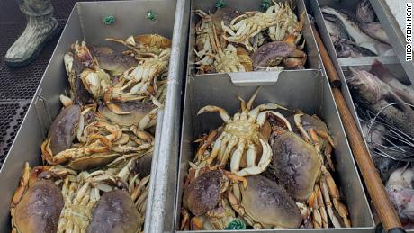 The Pacific Ocean is so acidic that it is dissolving the crabs of Dungeness & # 39; shells