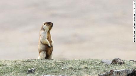 A Tarbagan marmot in steppes around Khukh Lake, Mongolia.