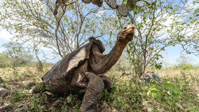 These tortoises saved their species from extinction. Now they're back home