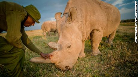 There are 2 northern white rhinos left worldwide. Scientists created embryos to save the animal from extinction