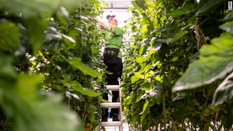 Vertical Harvest employee Ty Warner picks and cuts hundreds of indoor farm tomato plants.