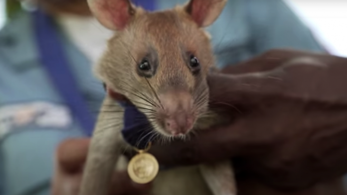 Giant rat receives animal hero award for sniffing landmines in Cambodia