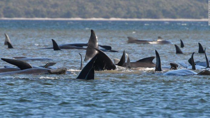 Australia Australian pilot whale: Tasmanian authorities rush to rescue hundreds of trapped animals