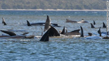 Australian officials are in the race to rescue hundreds of trapped pilot whales.  A third has already died