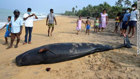 A dead pilot whale on a beach on the west coast of Sri Lanka after mass stranding.