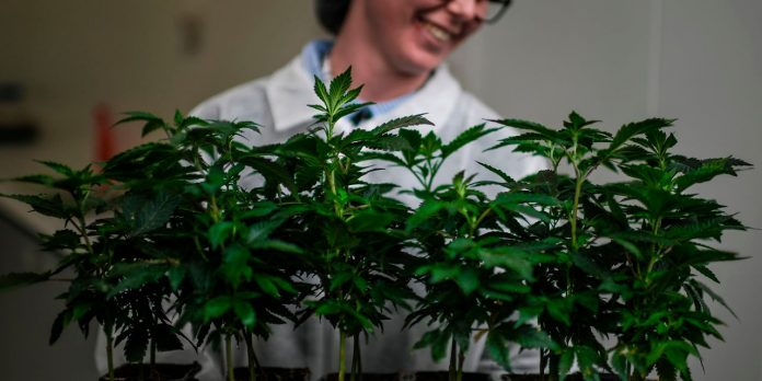 Tillay stock gain after pot company promises profit despite steady growth in sales