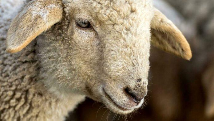 Brogna Sheep of Lesinia