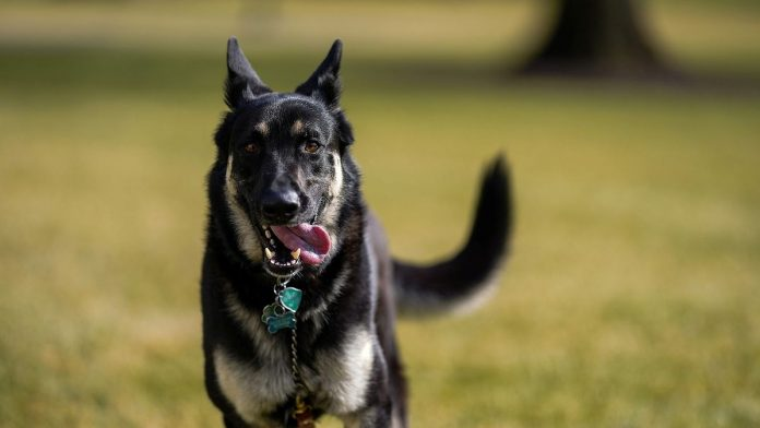 The White House, German Shepherd Champion and Major already have Biden dogs