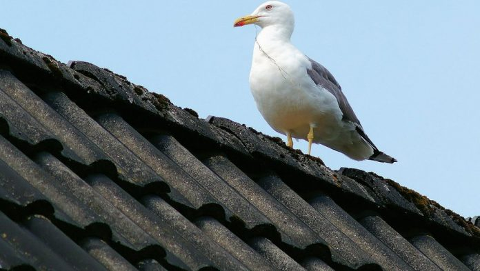 In Scotland, a man is attacked by a seagull every day on the way home