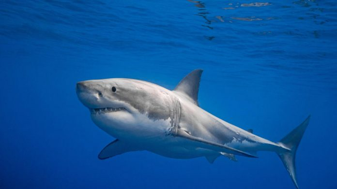 A great white shark named Nukumi crosses the Atlantic into Europe