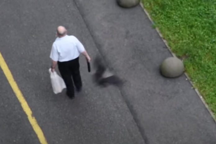 The crows are attacking again, a new victim, a gentleman who was not helped by an umbrella VIDEO