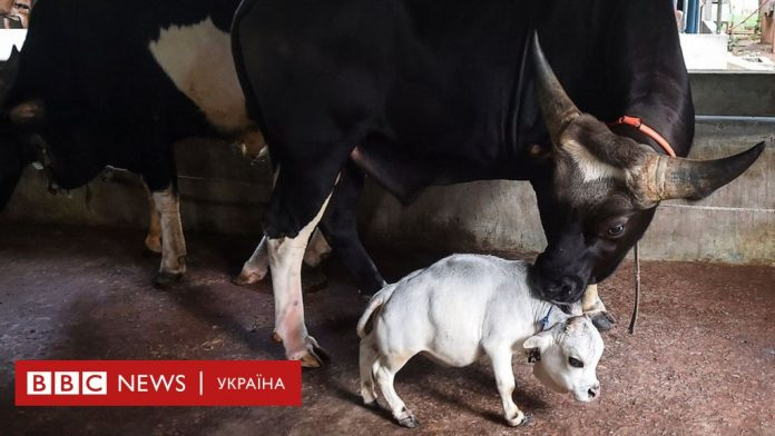 Dwarf cow becomes star in Bangladesh